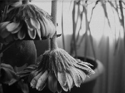 زهرة رائحة